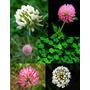 10 Sementes De Trevo - Frete Grátis/orquídea/muda/rosa