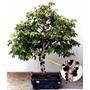 Bonsai De Jabuticabeira 10 Anos Produzindo Frutas. Bonsai Jr