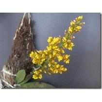 Muda De Orquídea Oncidium Lophiaris Pumila