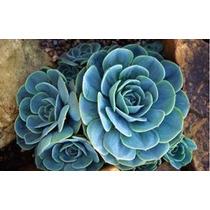 5 Sementes De Lithops, Azul - Frete Grátis Rosa/orquídea