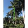 Mudas Palmeira Imperial Legitima 40cm