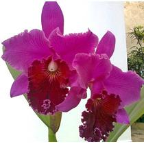 Mudas De Orquidea Cattleya Roxa + 2 Mudas De Brinde