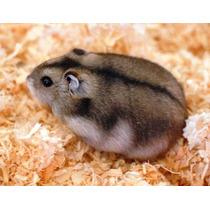 Lindos Hamsters Chinês Puros. Apenas Para Retirar No Local.