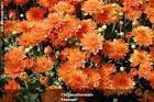 Sementes De Crisantemos Dobrado Sortidos Crisântemos