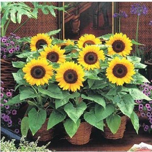 girassol anao de jardim:Sementes De Girassol Anão De Jardim Peso Líq 800mg + Brinde – R$ 6