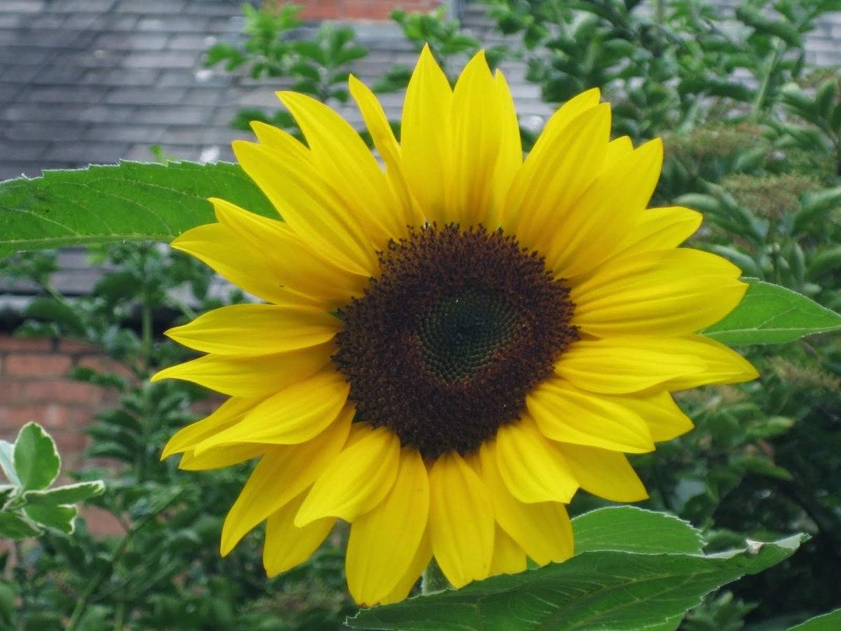 roubo de anao de jardim:Sementes De Girassol Anão De Jardim Peso Líq 800mg + Brindes – R$ 7