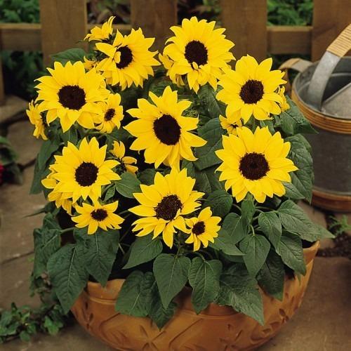 girassol anao de jardim:Sementes De Girassol F1 Anão Sunbright (sem Pólen) – R$ 8,00 no