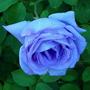 10 Sementes Rosa Trepadeira Azul Claro Light + Frete Grátis