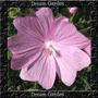 Musk Pink Malva Moschata Perfumada Sementes Flor Para Mudas