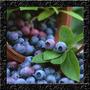 Blueberry Lowbush Mirtilo Anão Sementes Para Mudas