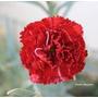 Sementes De Cravos Gigantes Vermelhos - A Flor Do Homem