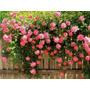 Sementes De Rosa Trepadeira (cor Rosa) - Frete Grátis
