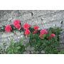 10 Sementes De Rosa Trepadeira Cor Vermelha - Frete Grátis