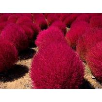 1000 Sementes De Kochia (grama Vermelha) Para Mudas + Brinde