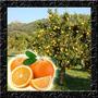 Sementes Selecionadas P/ Mudas Da Fruta Laranja Serra D