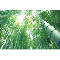 Bambu Mosso Gigante 50 Sementes- Phyllostachys Pubescens