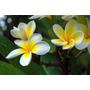 Sementes Jasmim Manga Plumeria Mix Flores Flor P/ Mudas