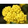 190 Sementes Flor Alyssum Corbeille D