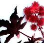 100 Sementes De Mamona Vermelha - Frete Grátis