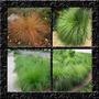 Capim Grama Prairie Dropseed - Sementes Flor Para Mudas