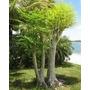 Moringa Oleifera - 50 Sementes