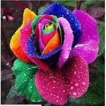 50 Semente Rosa Exótica Arco-íris + Frete Grátis