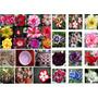 50 Sementes De Rosas Do Deserto - Frete Grátis/orquídea/muda