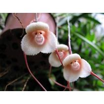 Orquídeas 5 Sementes - Cara Macaco Das Neves + Frete Grátis