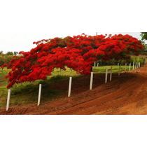 Sementes De Flamboyant Vermelho Para Mudas Ou Árvore