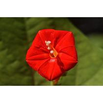 Trepadeira Ipomoea Scarlet Ipomeia Sementes Flor P/ Mudas