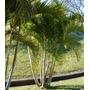 Sementes De Palmeira Areca Bambu Para Mudas
