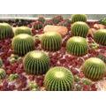 10 Sementes Cactos Bola Cactus Barril Cadeira De Sogra Flor