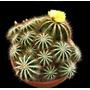 Sementes Cactos Notocactus Cactus Flor P/ Mudas Cacto Planta