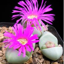 10 Sementes Cacto Pedra Viva Lithops Argyroderma Flor Mudas