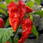 80 Sementes Pimenta Bhut Jolokia - Naga Fantasma Fretegrátis