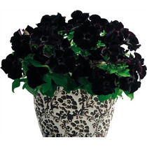 10 Sementes Petúnia Veludo Negro Inglesa R$25 Rosa Flor Muda