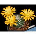 10 Sementes Cactos Rebutia Mix Cactus Flor Mudas Cactus