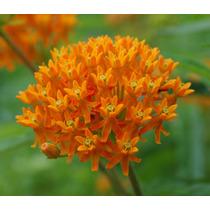 Sementes Flor Asclepias Tuberosa P/ Mudas Rosas Lirio Bulbos