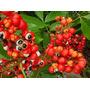 Guaranado Amazonas 20 Sementes Prontas Para Plantio Exotico