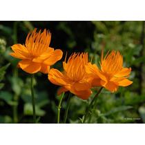 Sementes Rainha Dourada Trollius Chinensis Flor P/ Mudas