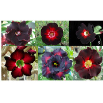 Rosas Do Deserto Black Kit - 6 Cores/frete Grátis/orquídea