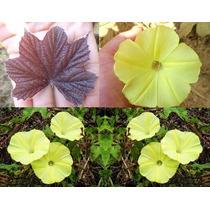 Trepadeira Ipomoea Amarela Ipomeia Sementes Flor P/ Mudas