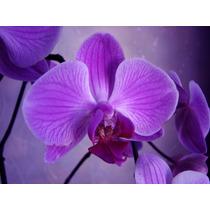 Frete Grátis - 5 Sementes De Orquídea Roxa