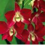 Frete Grátis - 5 Sementes De Orquídea Vermelha