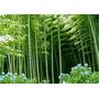 Frete Grátis - 5 Sementes De Bambu Ferro Gigante