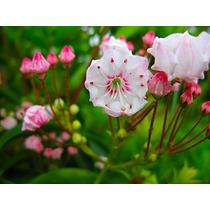 Sementes Flor Kalmia Latifolia P/ Mudas Rosas Lirio Bulbos