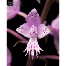 Orquídeas 5 Sementes - Lula Stenoglottis + Frete Grátis