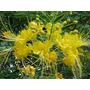 Flamboyant De Jardim Amarelo Sementes Raras Caesalpinia