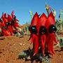 Sementes Ervilha Do Deserto Flor Swainsona Formosa P/ Mudas