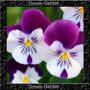 Amor Perfeito Gigante Suiço Liso Mix Sementes Flor Pra Mudas